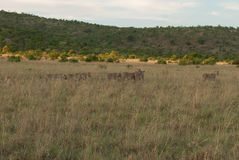 Lionesses in a grassland in Pilanesberg royalty free stock photos