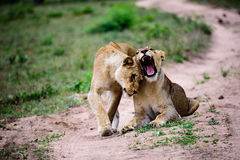 Lionesses greeting each other with a head rub Royalty Free Stock Photos