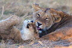 Lionesses grooming each other royalty free stock image
