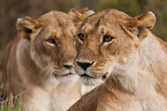 Lionesses hunting Stock Image