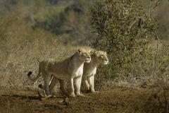Lionesses Hunting Royalty Free Stock Image