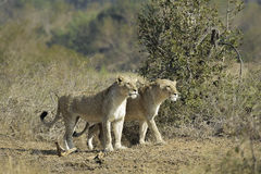 Lionesses Hunting. A pair of African lionesses getting ready to hunt Royalty Free Stock Image