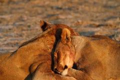 Lionesses Lazing Stock Image