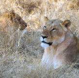 Lionesses lying in grass Stock Photos