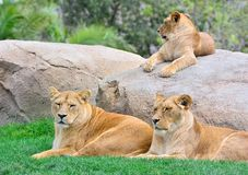 Lionesses lying on green grass Stock Photography