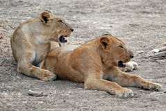 Lionesses resting lying on dry ground, Zambia Stock Photography