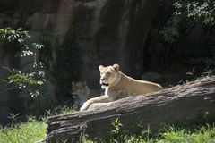 Lionesses Royalty Free Stock Photo