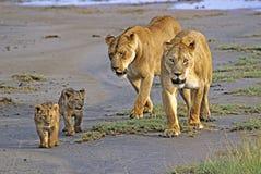 Lionesses med gröngölingar Arkivfoton