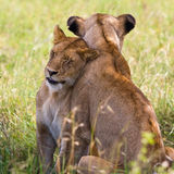 Lionesses nel Serengeti Immagine Stock Libera da Diritti