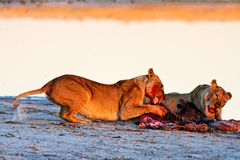 Lionesses (Panthera leo) at Blue Wildebeest (Conno Royalty Free Stock Photos