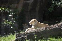 Lionesses Stock Image