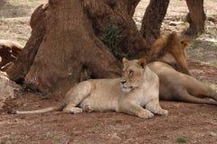 Lionesses Stock Photo