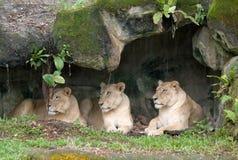 Lionesses pigri Fotografia Stock
