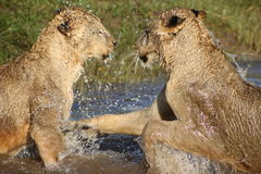 Lionesses playing in water. Side view of two lionesses playing in lake or water; splashing each other Royalty Free Stock Images