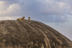 Lionesses of Pride Rock Stock Image