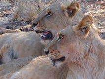 Lionesses in profile Stock Photo