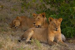 Lionesses relaxing in the shade on a hot day stock photography