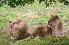 Lionesses Resting In The Sun Royalty Free Stock Images