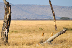 Lionesses. Scanning the horizon on the African savannah Stock Photos