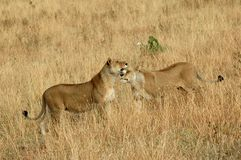 Lionesses in the Serengeti park Stock Photography