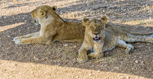Lionesses in the shade. Two lionesses hide in the shade from the heat royalty free stock images