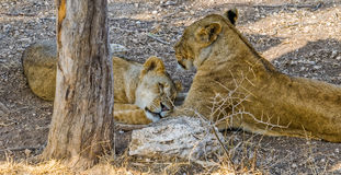 Lionesses in the shade. Two lionesses hide in the shade from the heat royalty free stock image