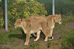 Lionesses. Threatening dangerous predator, hunting animals, king of the animals seen in zoos and safari, green grass lion on the background, hair, brown, teeth Royalty Free Stock Photos