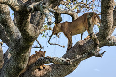 Lionesses on a tree Royalty Free Stock Photo