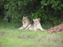 lionesses två arkivfoto