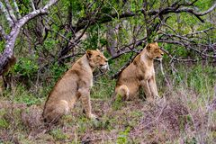 Lionesses waiting patiently staring at a prey target. Before moving in on their target Stock Image