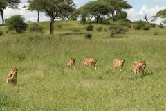 5 Lionesses walking in Tarangire grassland Royalty Free Stock Photos