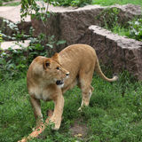 lionessjournalspelrum Arkivbild