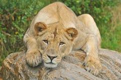 Lionesss Portrait stock photography