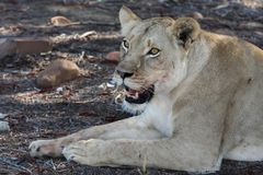 lionessstående Arkivfoto