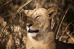 Lionessstående Royaltyfria Bilder