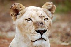 lionessståendewhite Arkivfoto