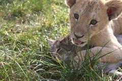 lionet e gatto Fotografia Stock