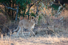 Lionet marche à la nuance d'un arbre Photographie stock