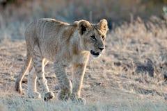Lionet marche dans les faisceaux du soleil de matin Images libres de droits