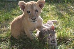 lionet och katt royaltyfri bild