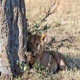 Lionet se sienta bajo un árbol Foto de archivo