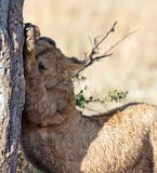 Lionet stretches oneself under the tree. Masai Mara Game Reserve, Kenya Stock Photo