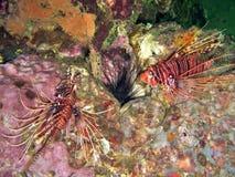 lionfish δύο Στοκ Φωτογραφία