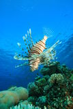 Lionfish και κοραλλιογενής ύφαλος στοκ φωτογραφίες με δικαίωμα ελεύθερης χρήσης