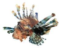 lionfish λευκό Στοκ φωτογραφία με δικαίωμα ελεύθερης χρήσης