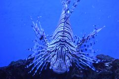 Lionfish - με ραβδώσεις Στοκ Φωτογραφίες