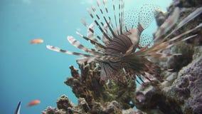 Lionfish στην κοραλλιογενή ύφαλο υποβρύχια απόθεμα βίντεο