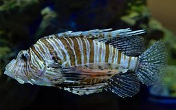Lionfish στο Kogalym Oceanarium στη δυτική Σιβηρία στοκ εικόνα με δικαίωμα ελεύθερης χρήσης