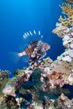 lionfish коралла над рифом Стоковые Изображения RF