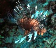 lionfish Фиджи Стоковая Фотография